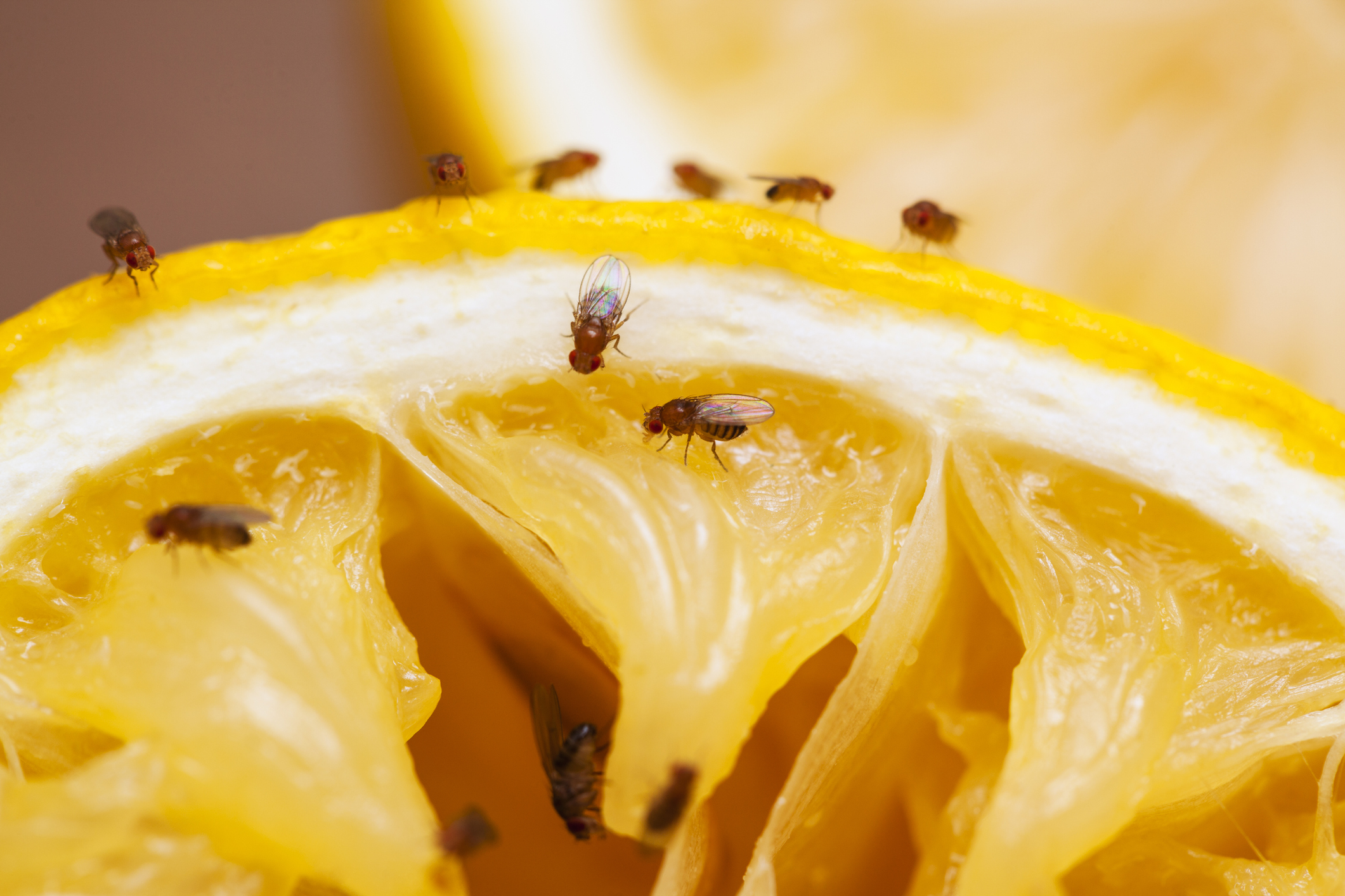 Insect Enemies of Fruit Crops